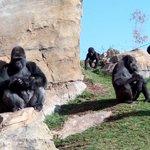 Selva de los gorilas