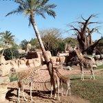 Habitat sabana africana, jirafas
