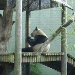 Edinburgh Zoo Panda
