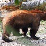 young bear pacing