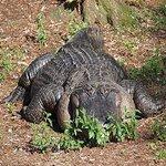 that's a fat alligator!