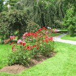 Rose bushes In Public gardens