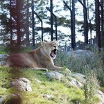 Lion in the park :)