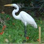 Egret w gecko
