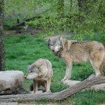 les loups gris .