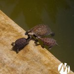 The small turtles