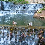 Ducks, Riverwalk