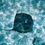 Large ray directly below me