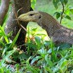 Mr Monitor Lizard