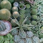 cactus (succulents)