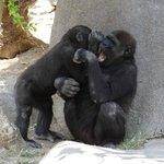 Juvenile gorillas playing