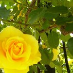 たくさんの種類のバラがあります