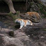 Playful tigers