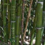 "многие оставляют свои ""пометки"" на стеблях бамбука"