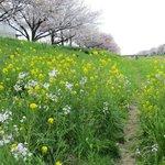 ソメイヨシノと菜の花とハマダイコン