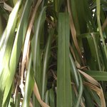 Sugarcane, sharp leave careful