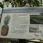 Pineapple description