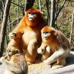 Golden Monkeys Foping