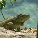 Iguana tomado el sol al borde de la laguna