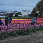 Early morning tulip harvest