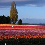 early morning tulips