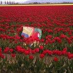 kite down in tulips