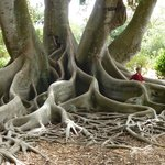 Roots of a massive tree