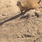 Prairie Dogs Abound!