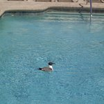 Caught this guy catching a Quick Dip in our Pool Lol