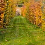 Les charmilles à l'automne