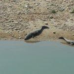 Alligator in Bardia NP