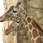 The giraffes are always engaging with visitors. I was pleased to get both of them in the same fr