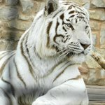 The mellow regal white tiger is one of the zoo's highlights.