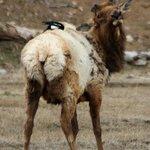 Elk with Magpie