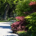 Japanese Maples and path