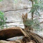 Canada  Lynx  (www.riccpics.com)