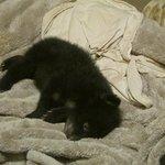 10 week old bear cub