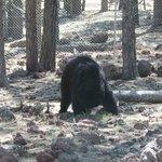 Black Bear approaches the car