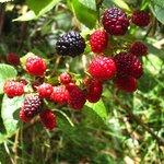 Wild raspberries FREE!