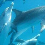 Bimini Dolphins