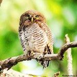 Jungle Owlet. Taken at the Resort