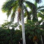 Très grands palmiers