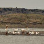 Pelicans preen.