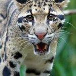 Endangered Clouded Leopard