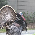 turkey walking the grounds