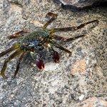 Shore crab in front of condo - A'ama