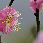 Peach Blossom in the morning