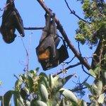 Flying Foxes Botanic Garden Sydney