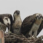 ospreys and their young
