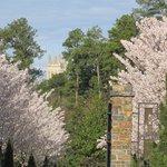 Duke Gardens Cherry trees in bloom
